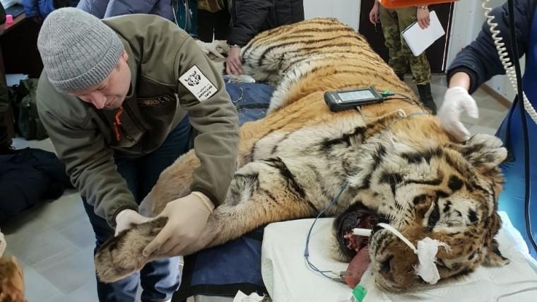 видео старейший амурский тигр приморья побывал приеме стоматолога