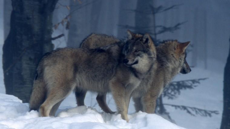 Почему вРоссии увеличилась численность волков ичем это опасно— эксперт