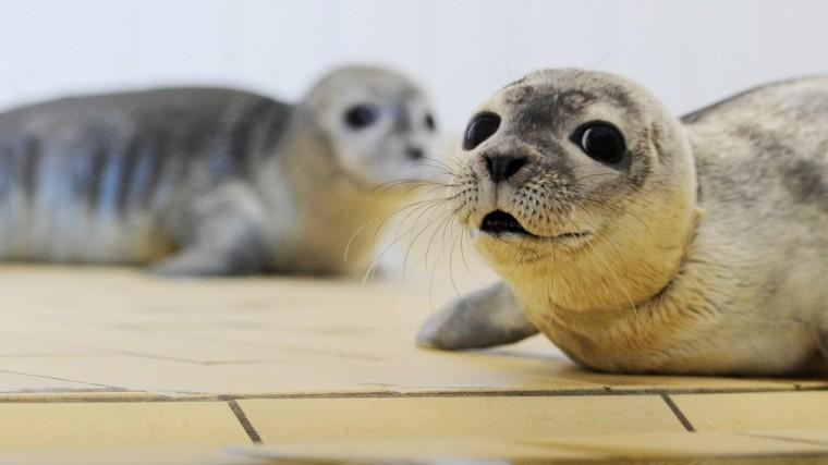 Видео: Жители Приморья спасли плачущего нальдине тюлененка
