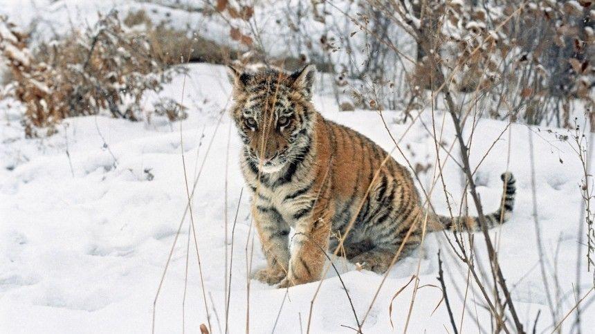 Мертвого тигренка нашли наобочине дороги вХабаровском крае
