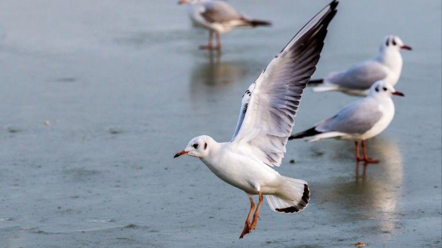 В Петербурге спасение вмерзшей в лед по крылья чайки сняли на…