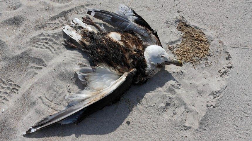 На черноморском побережье зафиксирована массовая гибель птиц и…
