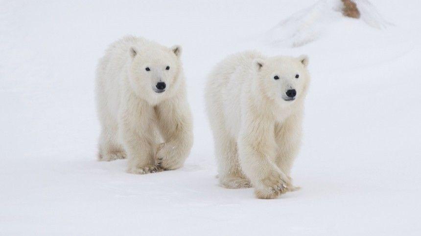 Разбойники с большой дороги: стая белых медведей пыталась ограбить…
