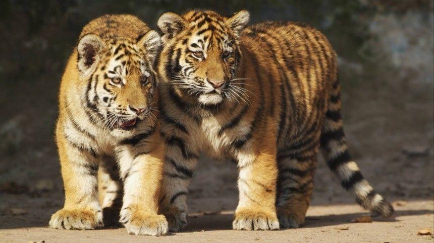 Краснокнижные амурские тигрята стащили фотоловушку и выступили в роли…