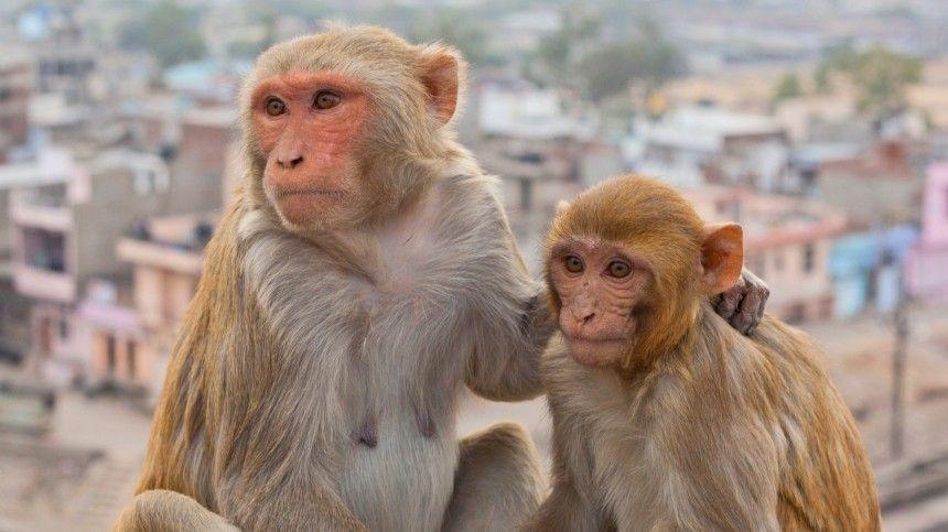 Две новые российские вакцины от СОVID-19 прошли доклинические испытания на приматах