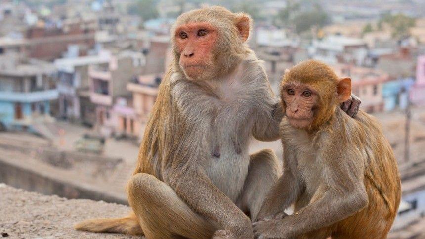Стартап Илона Маска научил обезьяну играть в видеоигры силой мысли  видео