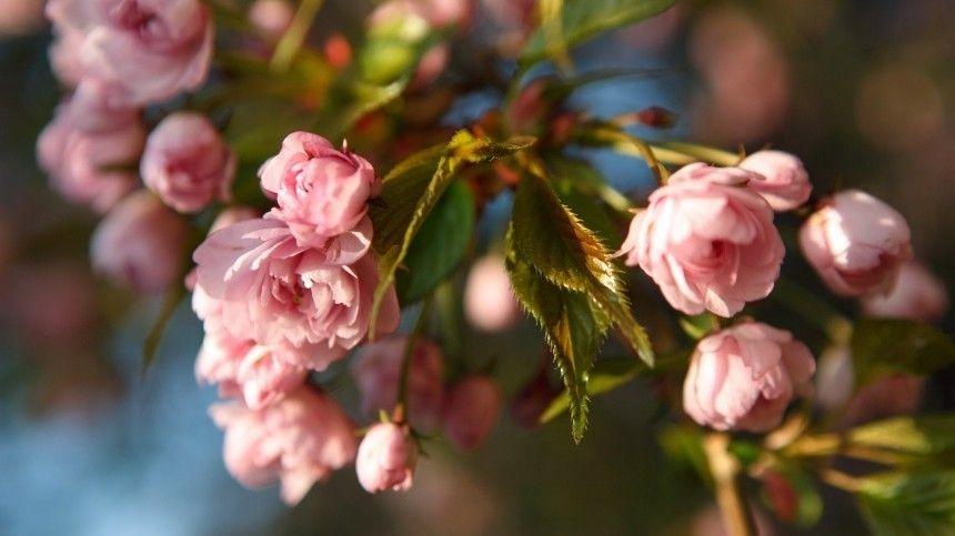 Парки искверы сяпонской вишней вСеверной столице запрудили паломники утонченной красоты.