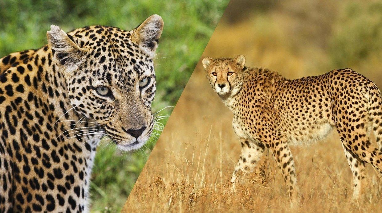 Чем овца отличается откозы? Как отличить гепарда отлеопарда?