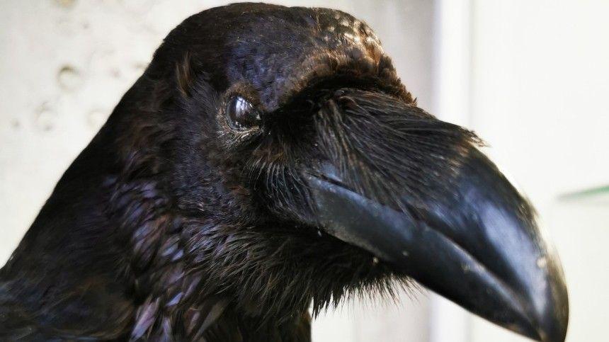 С нашествием голубей в Петербурге придумали бороться с помощью пластмассовых ворон